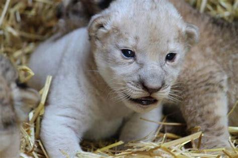 libro dnde estn los leones como nacen los leones donde viven como nacen
