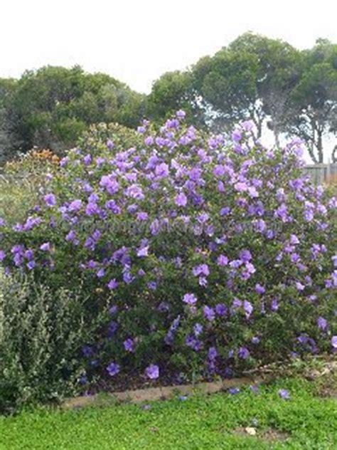 Australian Native Shrub Purple Flowers - native hibiscus alyogyne huegelii west coast gem