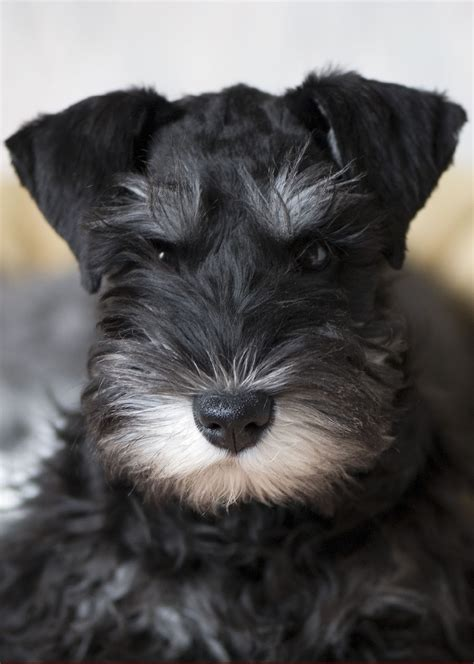 minature dogs dogs miniature schnauzer
