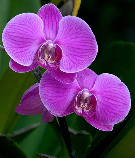 moth orchids moth orchid photo smart photos at pbase