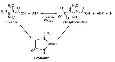creatine yellow urine creatinine assay kit urinary creatinine cell biolabs