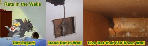 how to get rid of mice in basement how to remove and get rid of rats in the wall scratching