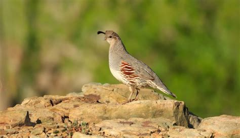gambel s quail callipepla gambelii about animals
