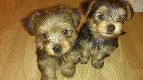 silver yorkie puppies 2 beautiful silver terrier puppies looki loughton essex pets4homes