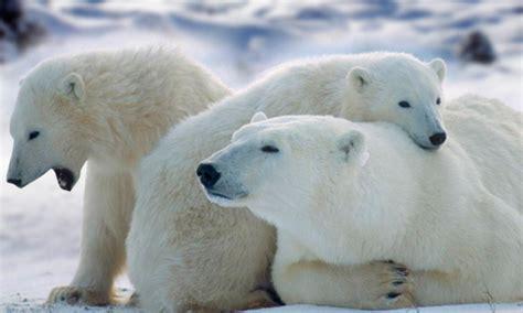 imagenes de animales en extincion animales en peligro de extinci 243 n anipedia