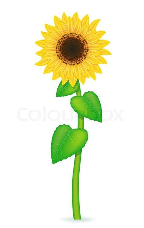 sunflower vector illustration isolated stock vector