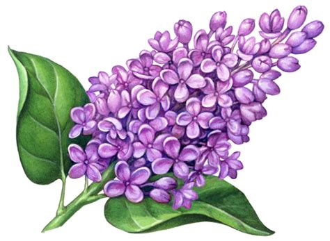 lilac clipart lilac flower drawing www imgkid the image kid has it