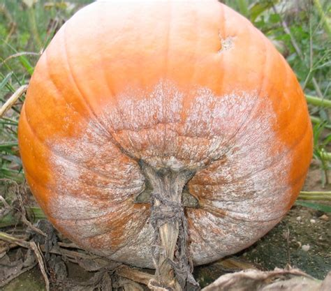 pumpkin fruit blights rots and their management