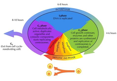 cell cycle diagram the cell cycle cell division siyavula