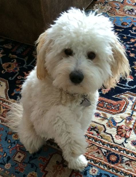 goldendoodle southern indiana 1000 ideas about medium goldendoodle on
