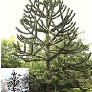 Fruit Trees Suitable For Pots - araucaria araucana monkey puzzle tree telegraph garden shop