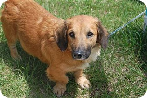 golden retriever afghan hound mix ruby adopted hainesville il basset hound golden retriever mix