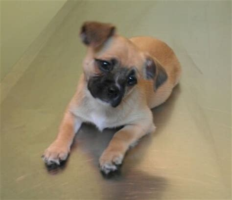 teacup chihuahua and pug mix pug and chihuahua chug pug mixed breeds chugs pug and chihuahuas