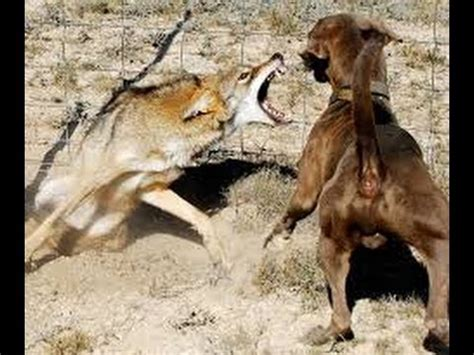 how to your not to attack other dogs coyote attacks and other animals subscribe rate comment