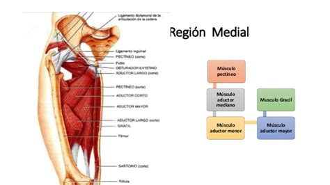 muslo interior anatomia muslo