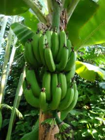 bananas on tree fact of the day bananas top food facts
