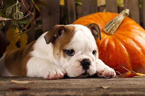 what does pumpkin do for dogs 10 health benefits of pumpkin for dogs
