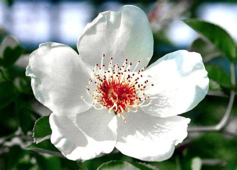 North Carolina Flower | north carolina s state flower dogwood art ideas pinterest
