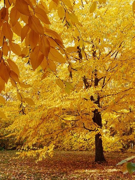 sweet birch tree for fall color peaceful places