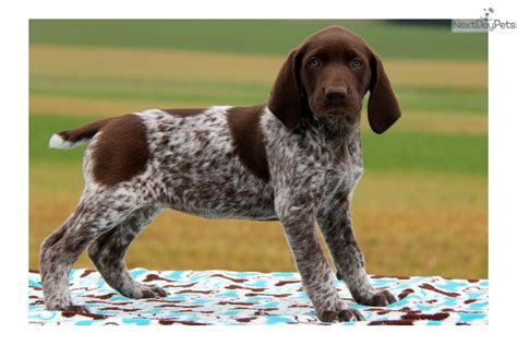 german shorthaired pointer puppies price german shorthaired pointer puppy for sale near lancaster pennsylvania 5c097b44 fcc1