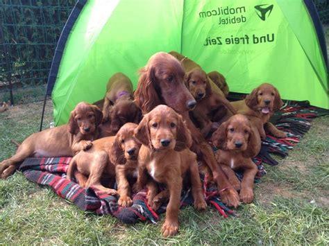 setter dog family so cute irish setter family dogs pinterest irish