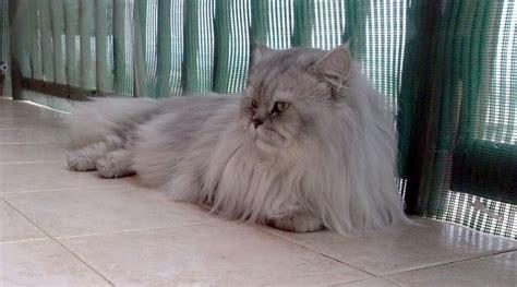 gatti persiani grigi gatto persiano grigio in terrazza petpassion