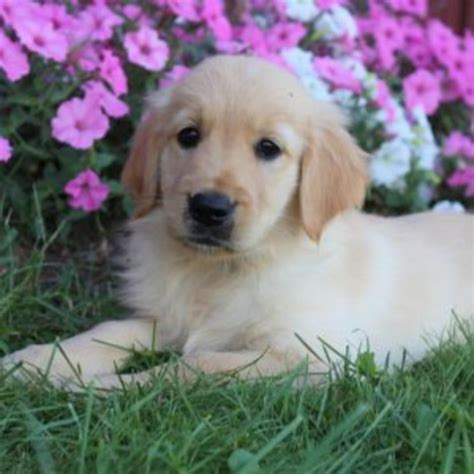 purebred golden retriever puppy golden retriever purebred puppy litters for sale in hoobly classifieds