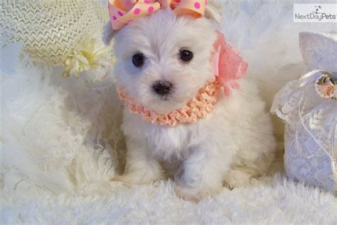 maltipoo puppies for sale ny teacup and maltipoo puppies for sale on island new york breeds picture
