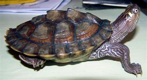 pin water turtle on pinterest