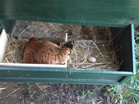 come costruire una gabbia per galline cosa fare se avete una chioccia in un pollaio in legno