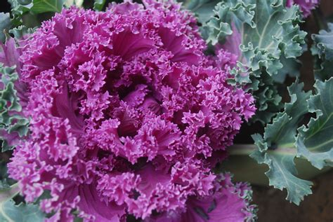 ornamental plants ornamental cabbage plant free stock photo public domain