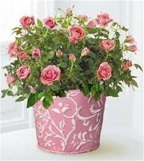 roselline in vaso roselline