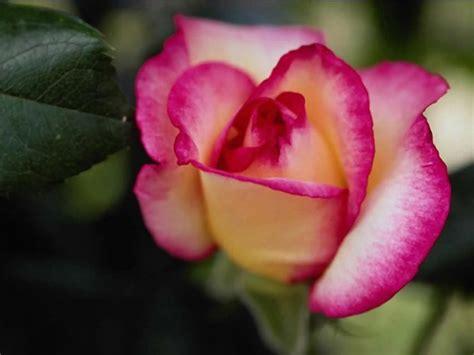 imagenes todo flores fotos de rosas rosas