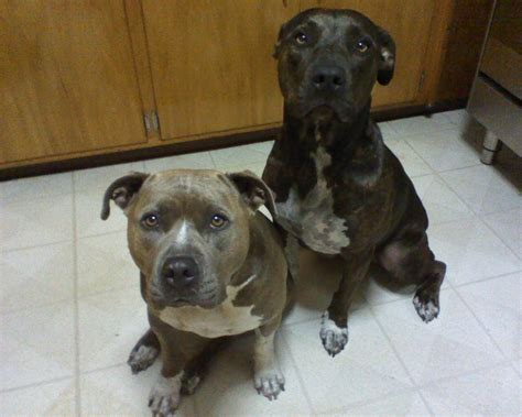 puppies for adoption wi about bully style pits steelhead bullies memes