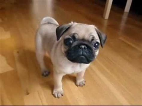 1 week pug puppies this 10 week pug puppy will brighten up your day