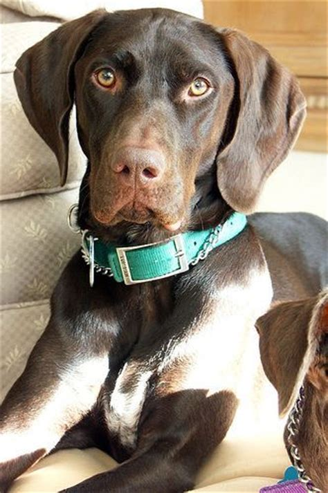 dog scenting in house the 25 best pointer dog ideas on pinterest pointer puppies short haired dachshund