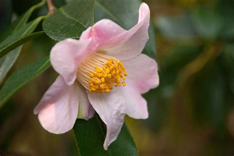 flower garden blogs garden flowers camellia sasanqua a winter flowering gem