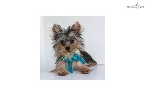 teacup yorkies springfield mo yorkie puppies terrier puppy for sale in springfield mo breeds picture