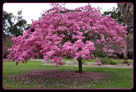 flowering trees pink trumpet
