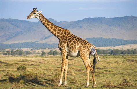 imagenes de jirafas salvajes adictamente el nacimiento y los primeros pasos de una jirafa