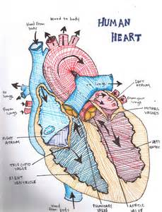 longitudinal section of the human heart the heart cake ideas and designs