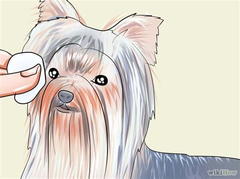 yorkie eye boogers 9 ways to groom a terrier wikihow