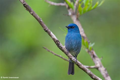 Verditer Blue by Endemic Birds Of The Western Ghats Part 3 Jlr Explore