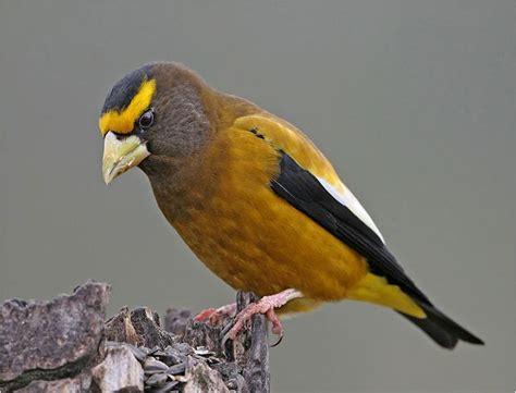 evening grosbeak i love birds pinterest
