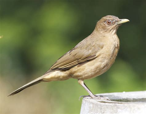 clay colored thrush list of birds of costa rica