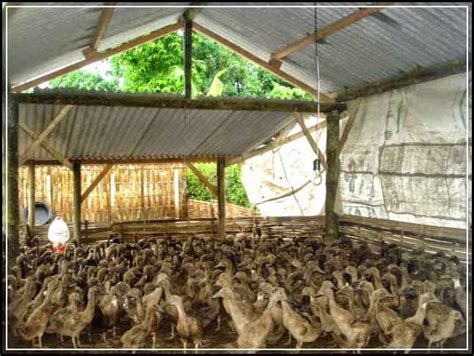 Kandang Dod Bebek Peking 6 kriteria kandang bebek paling ideal untuk usaha ternak