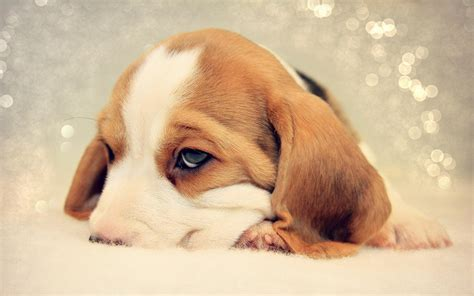 animal in bed sad beagle puppy nuzzled in bed wallpapers and images