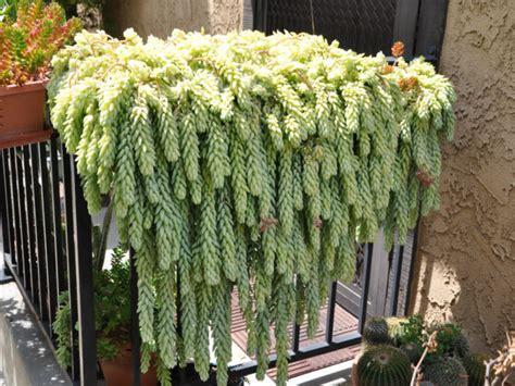 popular hanging succulent plants