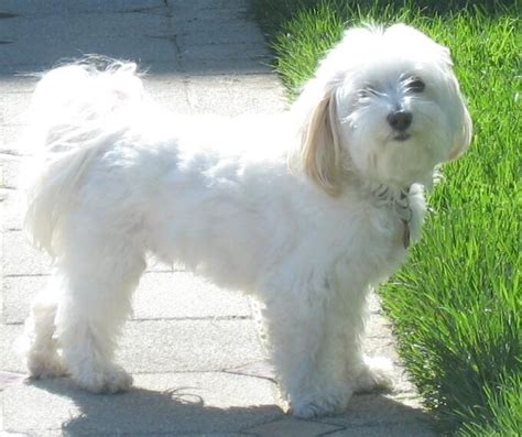 white puppy breeds most favorite white breeds breeders guide