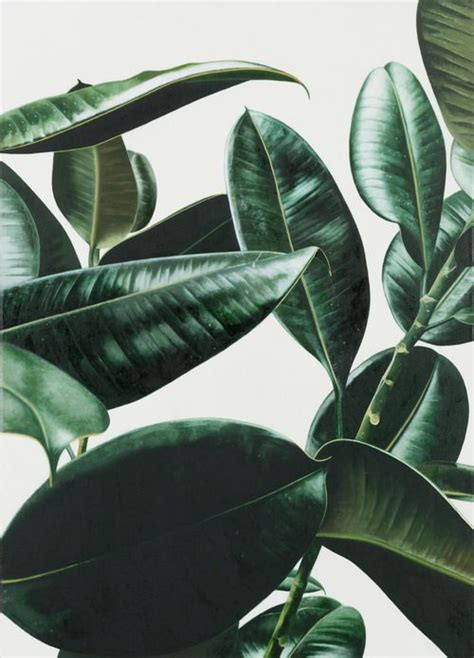 palm tree rubber st best 25 rubber plant ideas on fiddle leaf fig